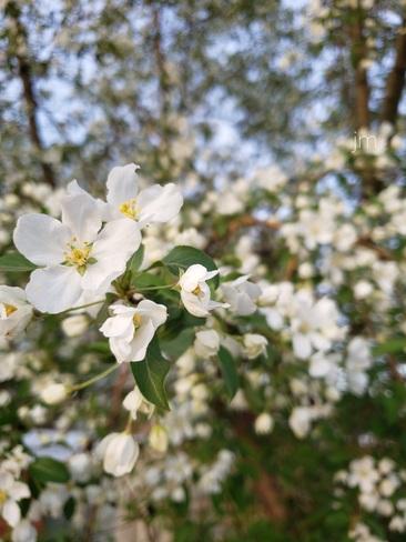 apple blossoms Saskatoon, SK
