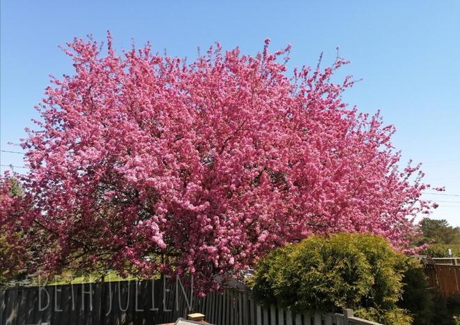 Crabapple blossoms in May Oshawa, ON