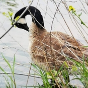 18/5/2021 Early summer 27C Canada goose sunbathing - Marita Payne Park Thornhill