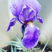 "Magnifique ""Zebra Iris"""