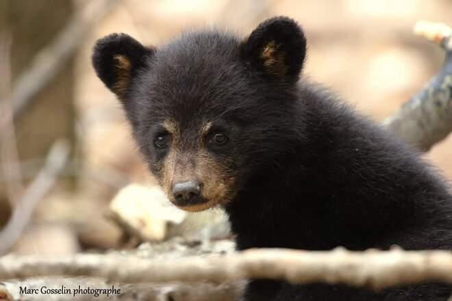 petit ours Beauport, QC