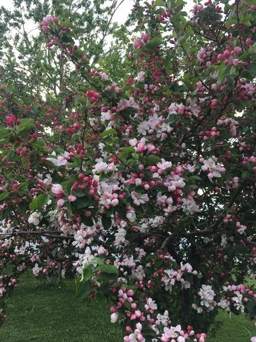 Beautiful Blossoms Birchy Bay, NL