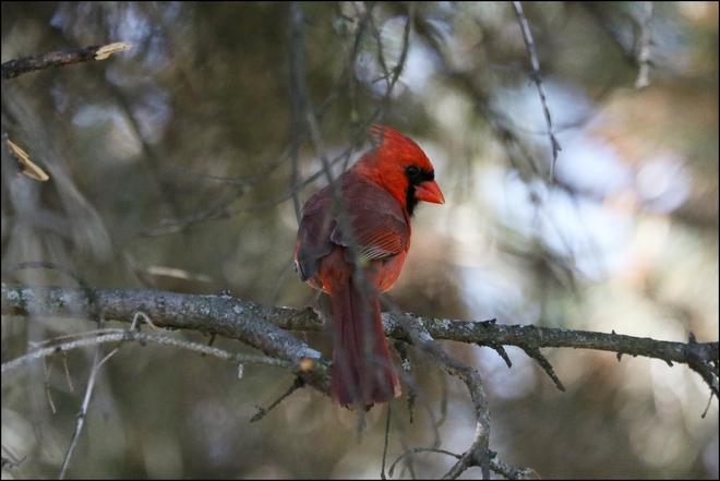 Cardinal mâle Montréal, QC