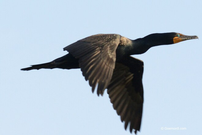 Good Night Cormorant! Toronto, ON