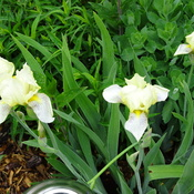 Pretty Iris's