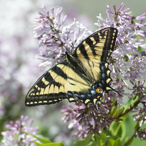 Butterflies and Moth Haliburton, ON