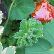 raindrop or dew