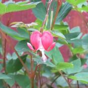 My last tiny heart bleed flower