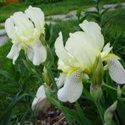 My Yard Flower Pics