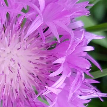 Delicate Perennial
