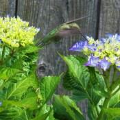 hummingbird has new lunch