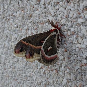 Cecropia Silk Moth