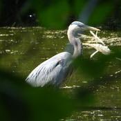 Great Blue Heron @ Grenadier Pond, High Park
