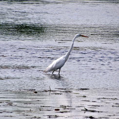 Great White Egret Long Sault Parkway, Ingleside, ON