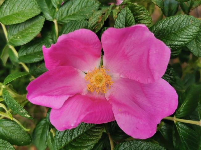 Wild shrub rose Rutherglen, ON