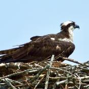 Osprey / Balbuzard pêcheur (Pandion haliaetus) On Nest.
