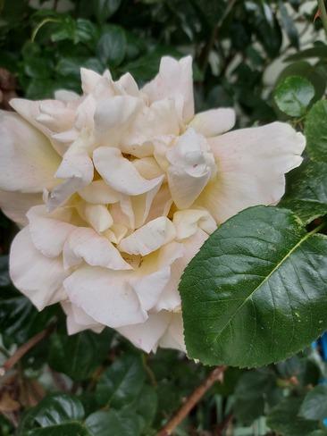 Blossoming beauty Sechelt, BC