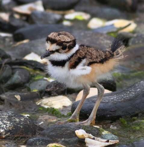 2021-06-13- Very young Killdeer chick at Esquimalt Lagoon Esquimalt Lagoon, Colwood, BC