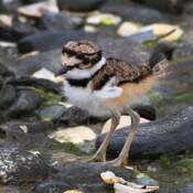 2021-06-13- Very young Killdeer chick at Esquimalt Lagoon