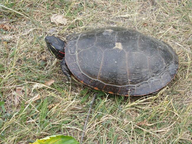 """A Turtle Moment"". Vanier, Ottawa, ON"