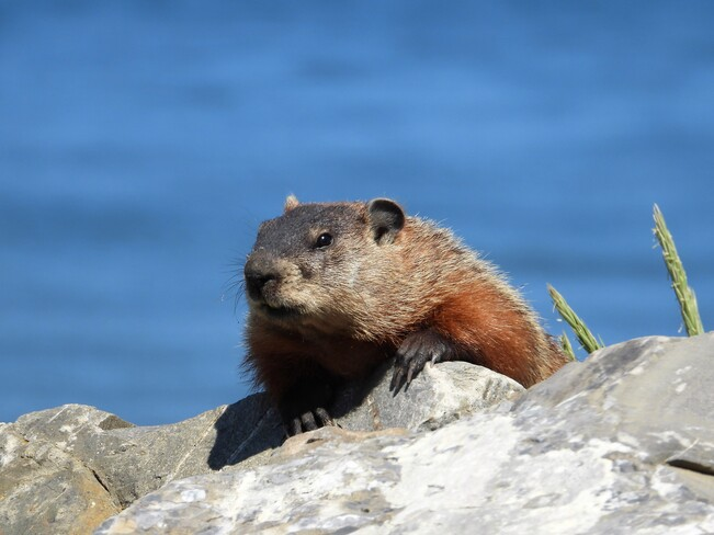 Une autre marmotte aujourd'hui Matane, QC