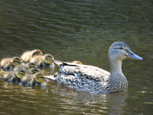 Colvert femelle avec ses petits Matane, QC