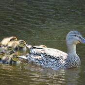 Colvert femelle avec ses petits