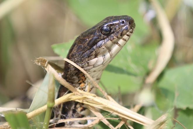 Fox snake Amherstburg, Ontario, CA