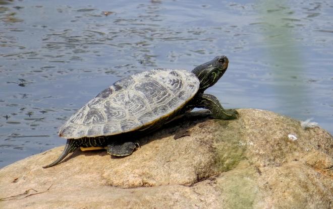 turtle Johnstown, ON