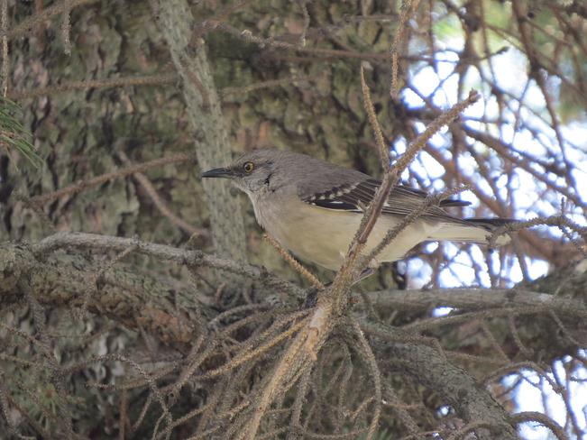Northern Mockingbird Sudbury, ON