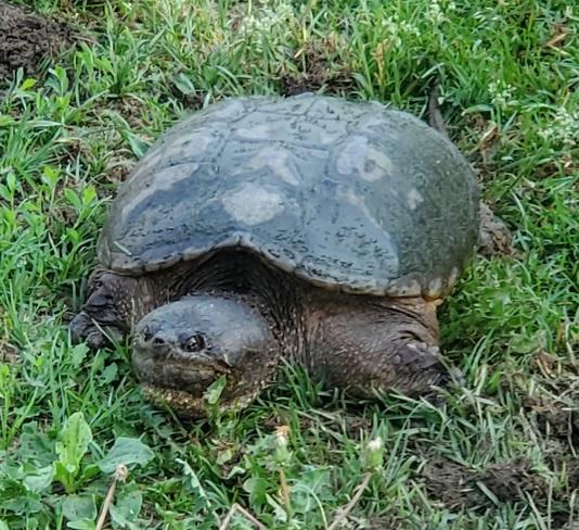 mamma turtle Brampton, ON