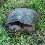 mamma turtle