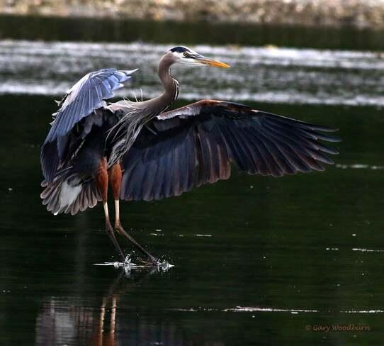 2021-06-13- Great Blue Heron, coming in for a landing, in Esquimalt Lagoon Esquimalt Lagoon, Colwood, BC