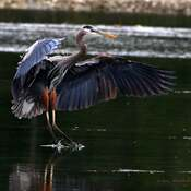 2021-06-13- Great Blue Heron, coming in for a landing, in Esquimalt Lagoon