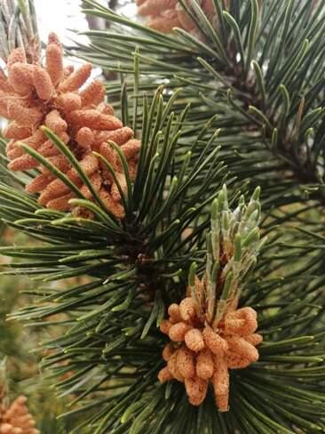 Spruce cones Whitestone, ON