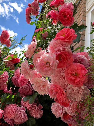 Roses Mississauga, ON