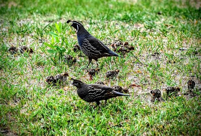 quail family Kelowna, BC