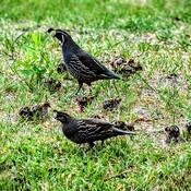 quail family