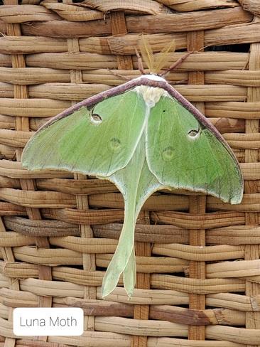 Luna Moth Tatamagouche, NS