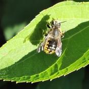 Wool Carder Bee !?