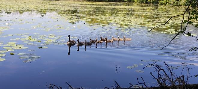 Mama and her babies Mud Lake, ON