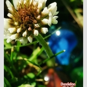 June 14 2021 The last beauty - Dandelion in Thornhill