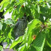 owl and cherries