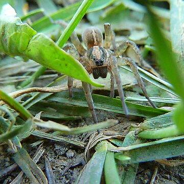 Eight legged little crawler in grass.