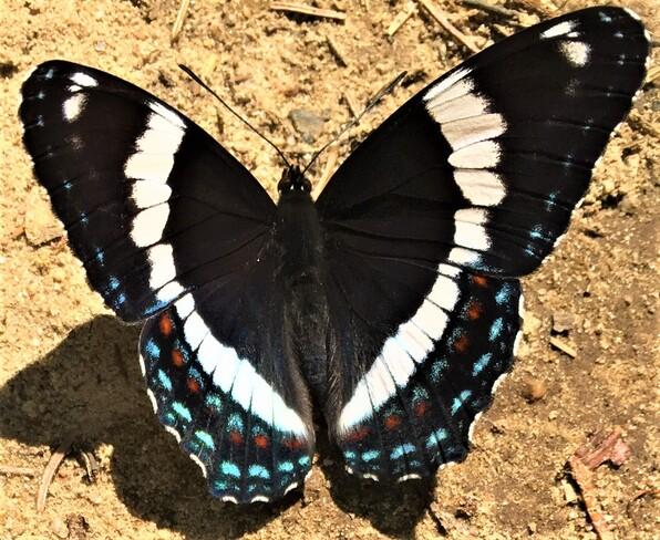 Papillon amiral Wow Mont-Tremblant, QC