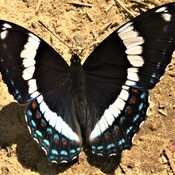 Papillon amiral Wow