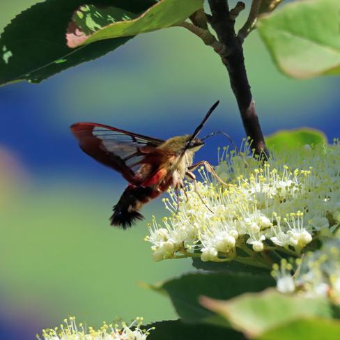 Hummingbird Moth at Work in Algonquin Park, Ontario Algonquin Park, ON