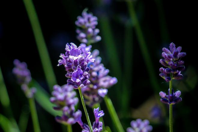 Lavender tecumseh, on
