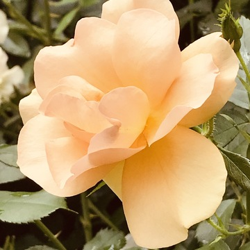 Caramel Colour Rose