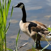 June 19 2021 26C The lonely goose - Rumble Pond Park - Richmond Hill